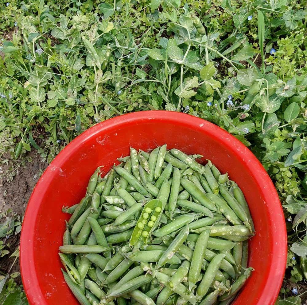 Die Erbsen auf unserem Gemüsefeld